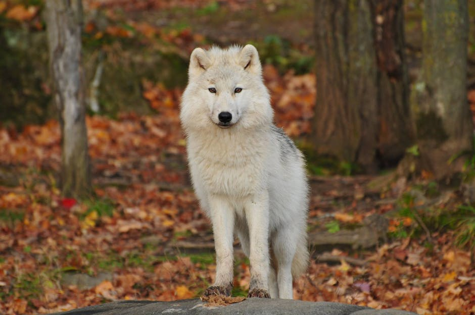 White wolf in the woods
